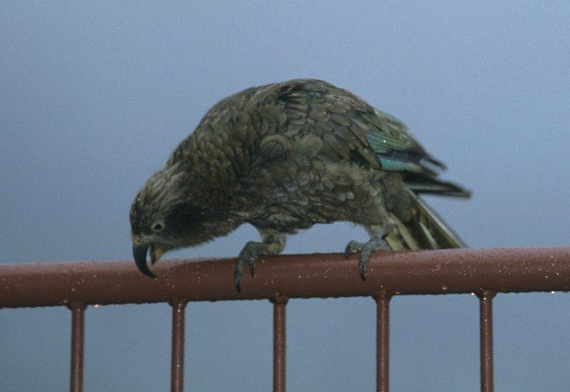 Ein Kea. der Spaßvogel in Neuseeland