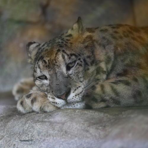 Ein müder Schnee-Leopard.